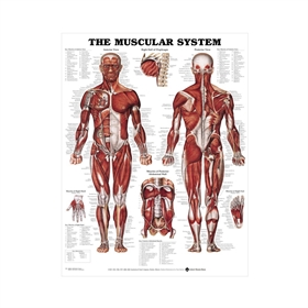 The Muscular system, plakat, 51x66 cm